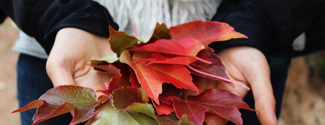 Maple Leaves May Be The Key To Youthful Skin